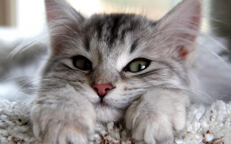 Чому у вашій домівці обов'язково має бути кіт