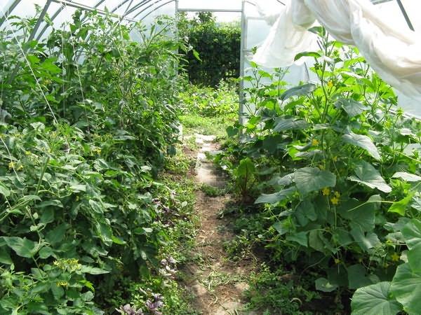 Скільки кущів високорослих і низькорослих томатів можна посадити в одній теплиці, щоб урожай був максимальним