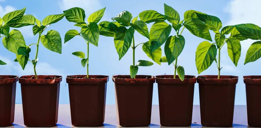 Як правильно застосовувати золу для підгодівлі розсади томатів і перців